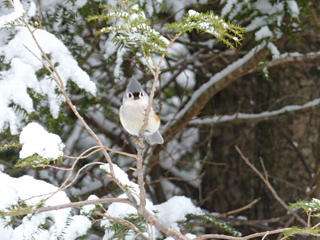 Small gray headed bird with a white chest looking at the camera from a snow-covered evergreen tree branch