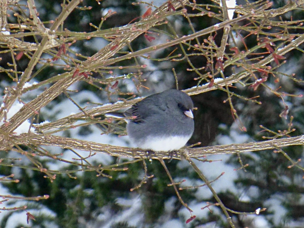 Dark gray bird with white undersides sitting within the branches of a shrub in the wintertime