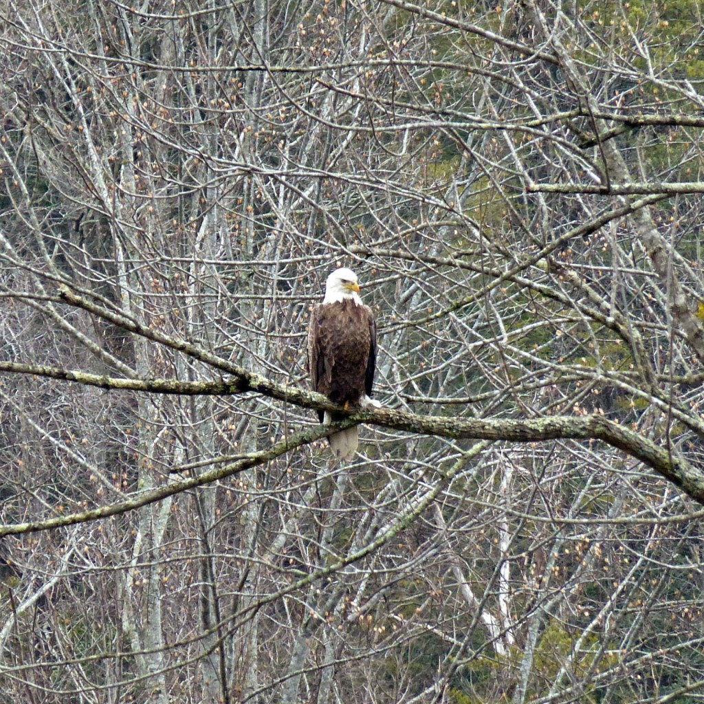 Large brown bird with a white head standing on a tree limb in the forest