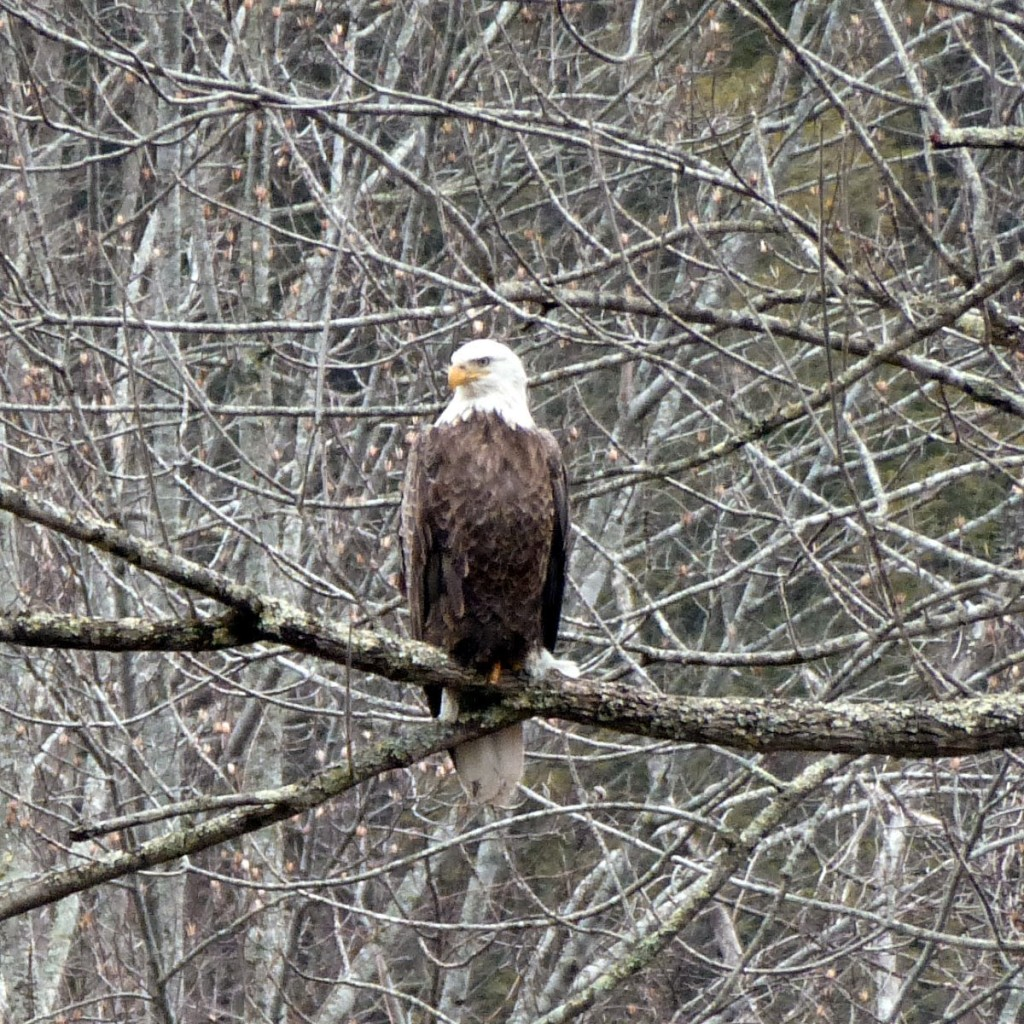 Large bird with white head and brown body perched on a tree limb and looking sideways