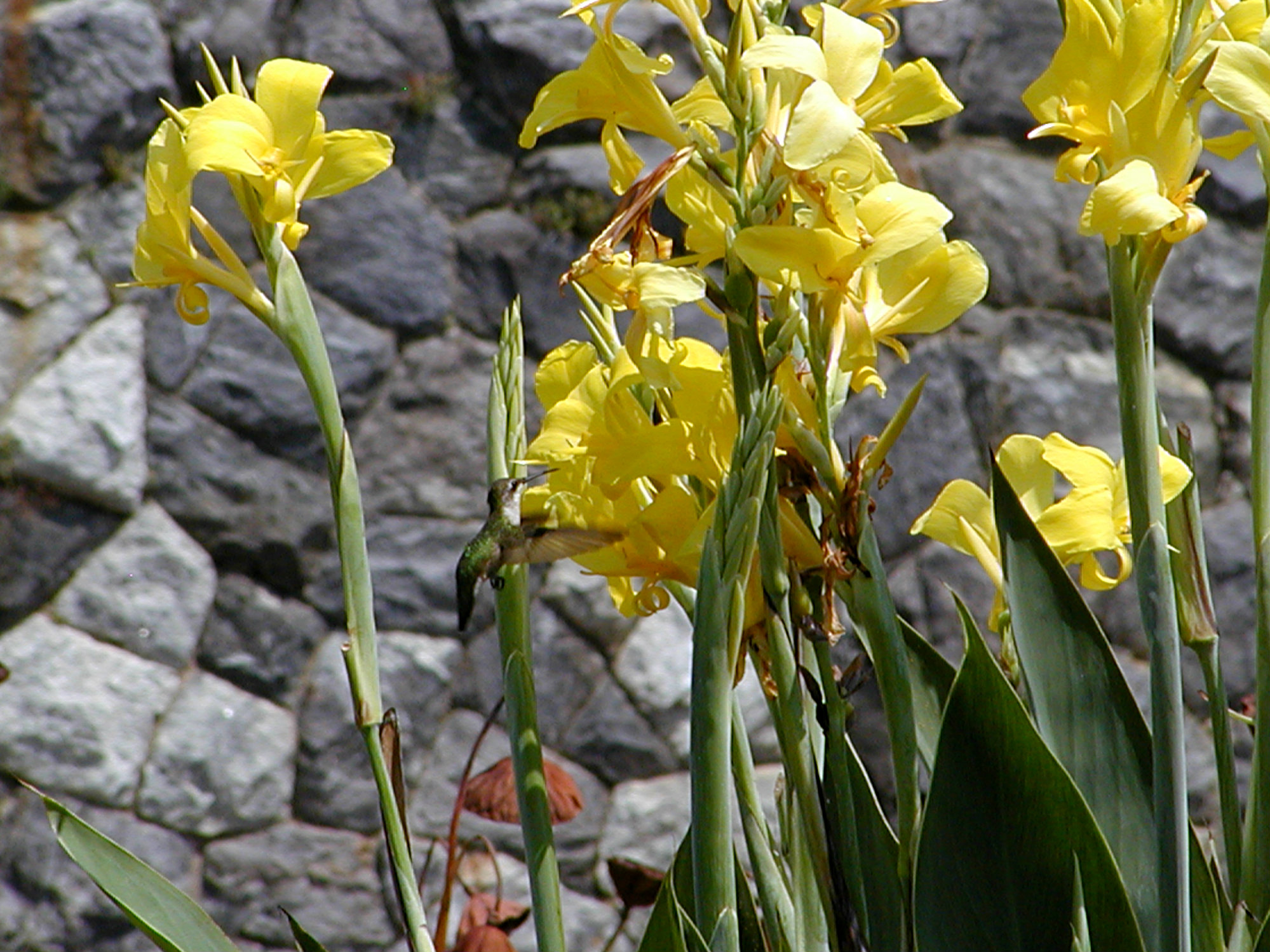 Biltmore Italian Garden Hummingbird Yellow Iris August 2010