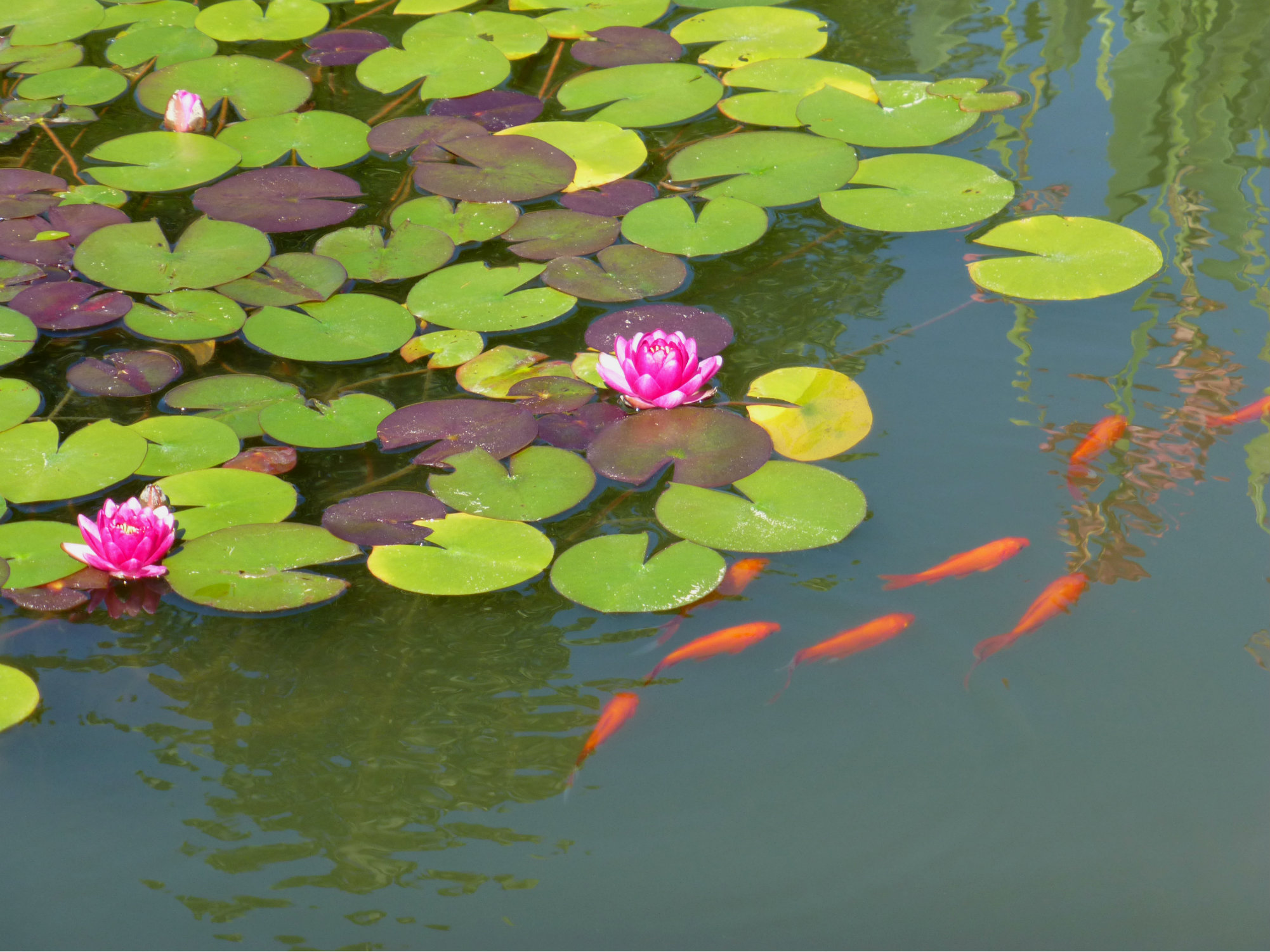 Biltmore Italian Garden Orange Fish and Pink Lilypad Flowers Sept 2012