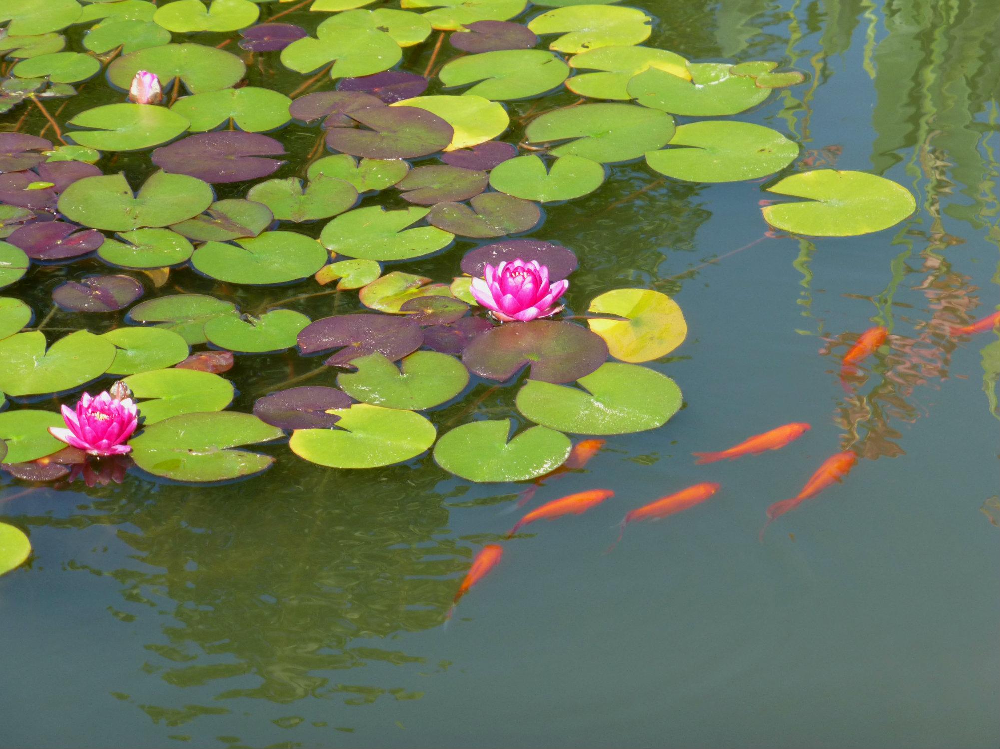 Biltmore Italian Garden Orange Fish and Pink Lilypad Flowers Sept 2012