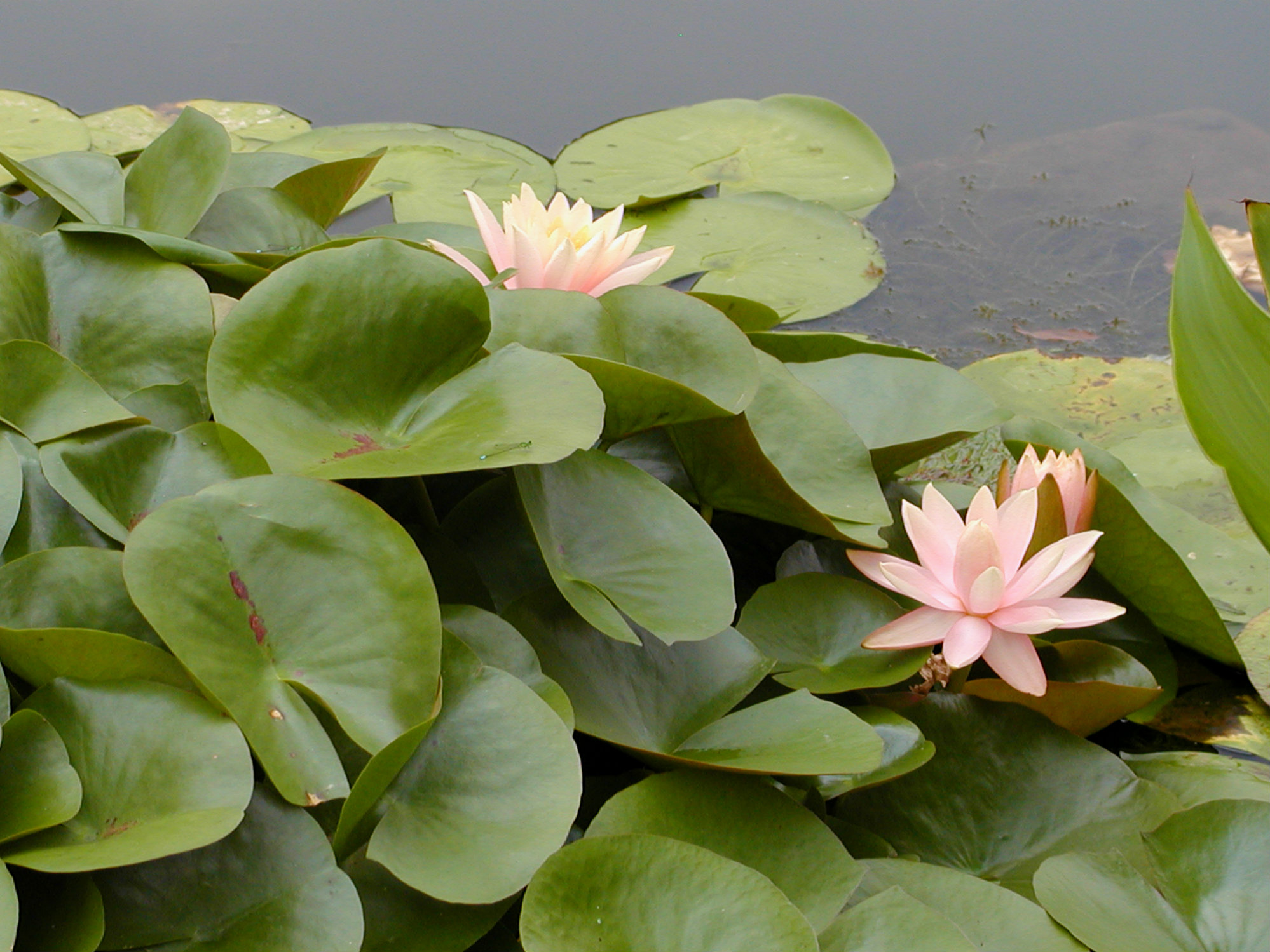 Biltmore Italian Garden Pale Pink Lilypad Flowers August 2011