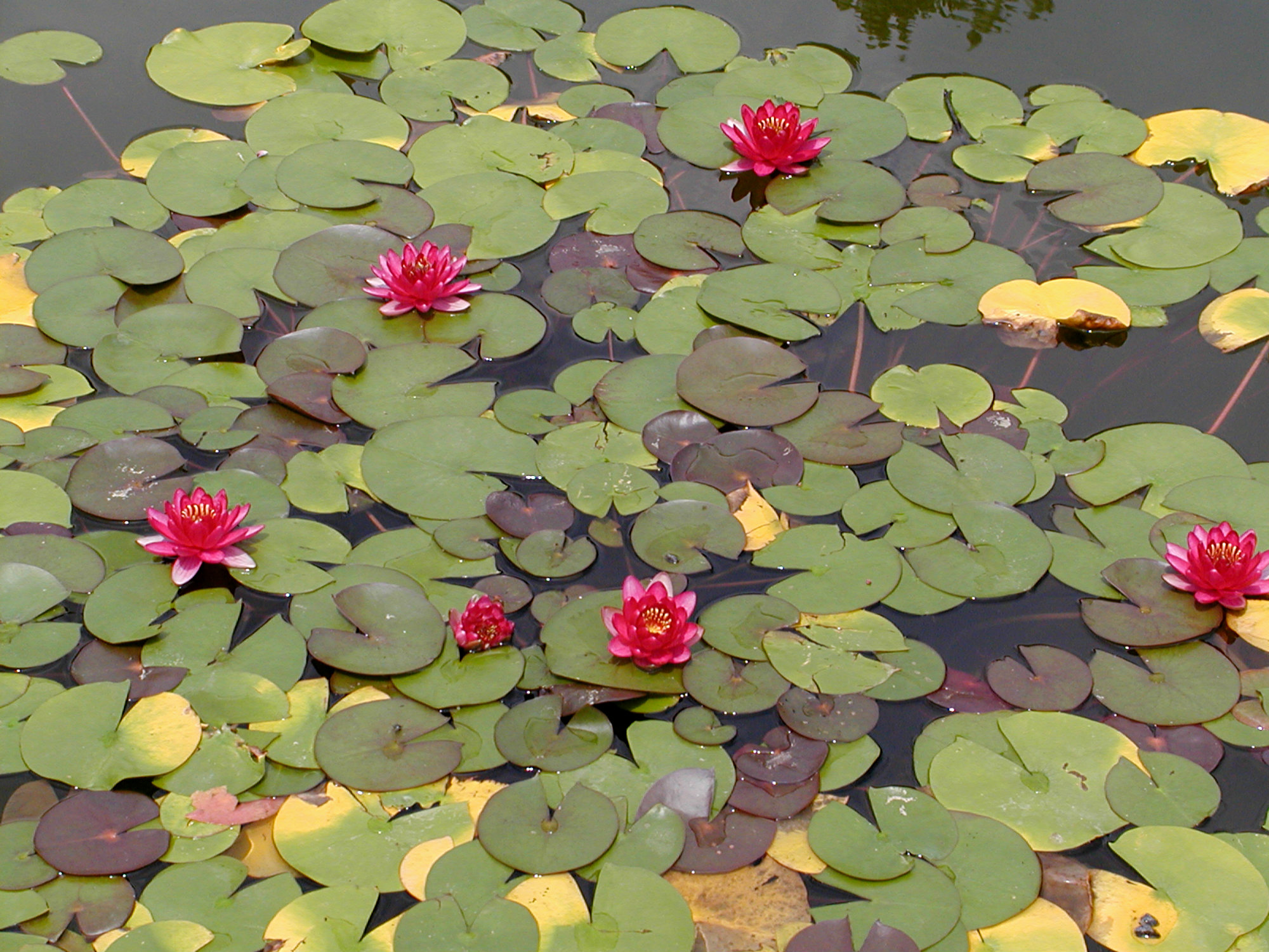Biltmore Italian Garden Pink Lily Pad Flowers August 2011