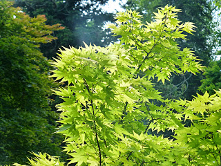 Sun shining through the pointy yellow-green leaves of a tree