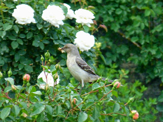 Gray bird with something in its mouth standing on a rose bush with white blooms
