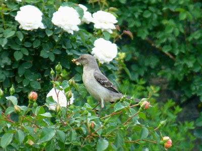 Medium sized gray bird with dark wings perched on a white rose bush