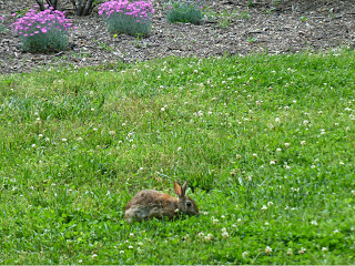 Small rabbit eating clover near a garden with pink flowers