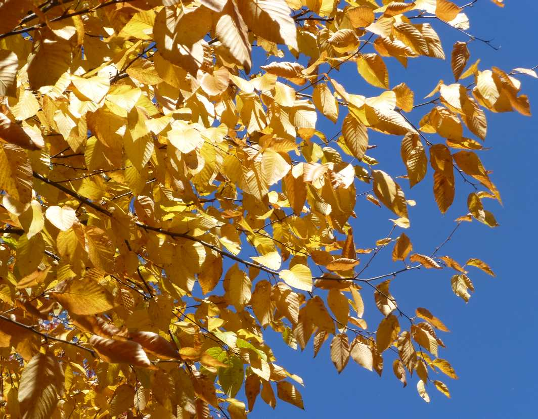 birch-tree-yellow-leaves
