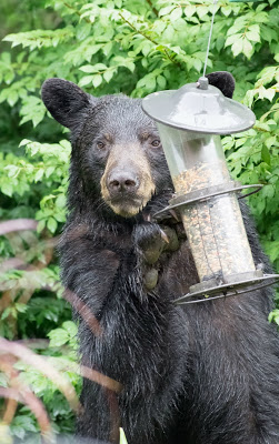Black bear looking at the camera with its paw on a two-tiered bird feeder with top open