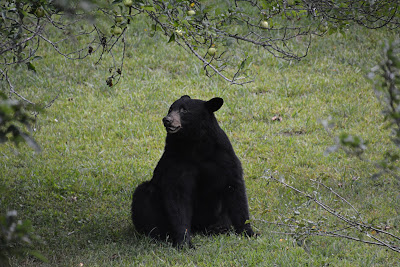 Black bear sitting on the ground under apple tree branches
