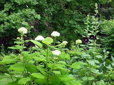 Tall leafy shrub with white flower balls next to tall plant stalks with black flowers