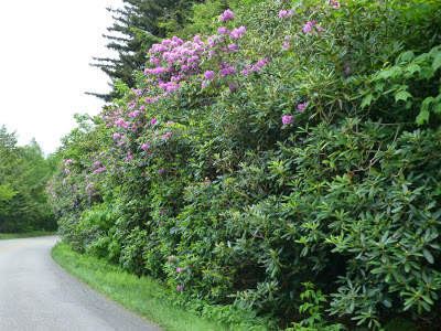 Tall shrubs wih pink blooms and other plants along a road