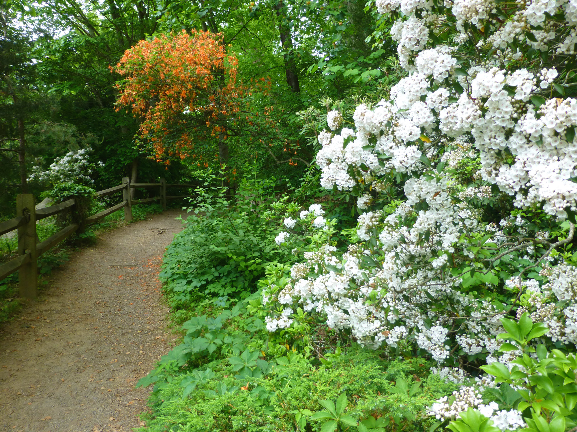 Large flowering shrubs along a wooded path with a split rail fence on the other side