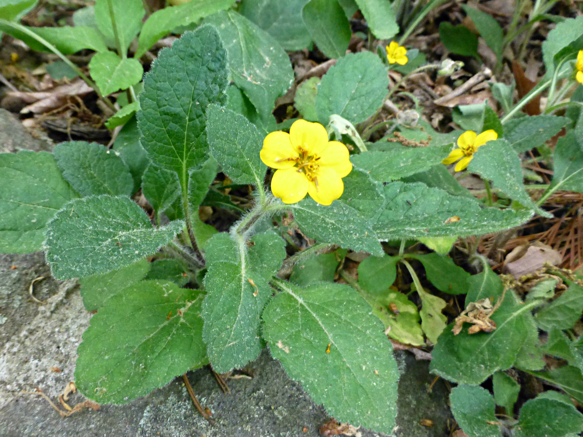 Plant with large leaves and brightly colored yellow flower blooming with rocks and leaves underneath