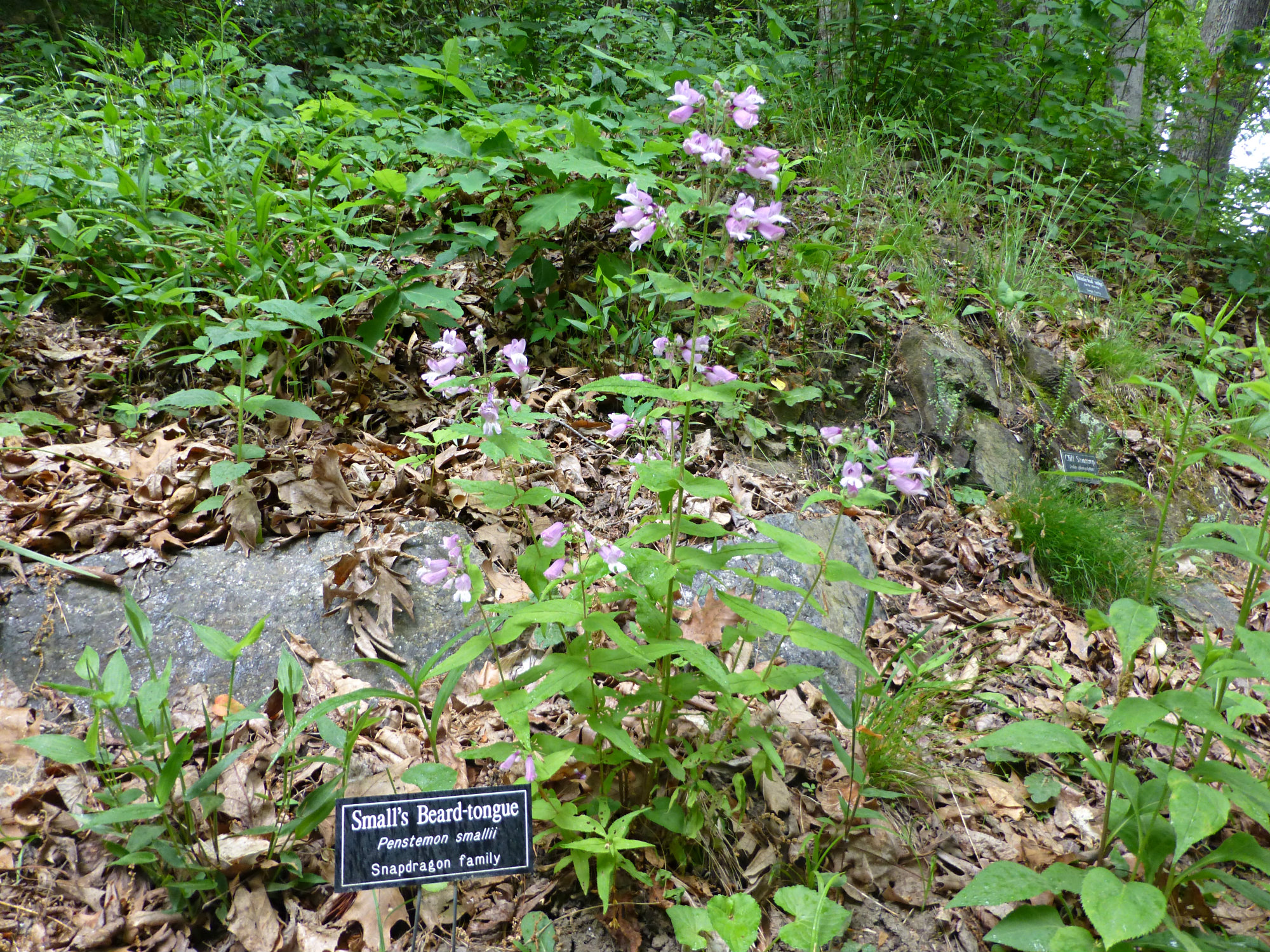 Sign saying Small's Beard-tongue next to plant with tall stems and purple flowers near some stones in the woods