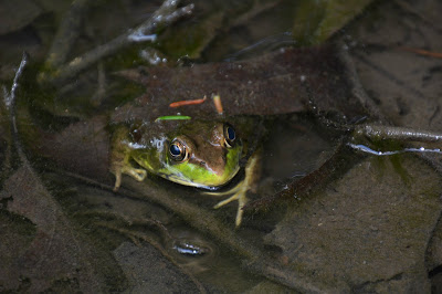 Bullfrog with its head above water in a pond with leaf-covered bottom