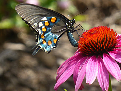 Black, orange and blue butterfly on a bright pink and orange flower
