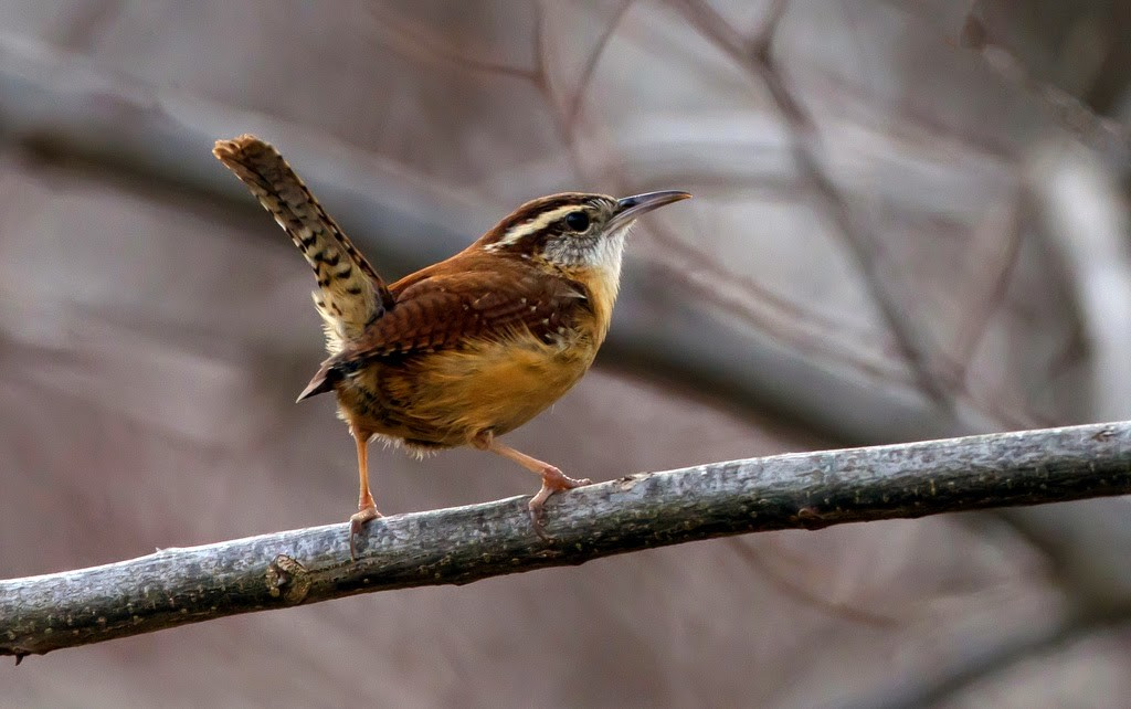 Small brown bird with white eye streak and tail sticking up standing on a small branch