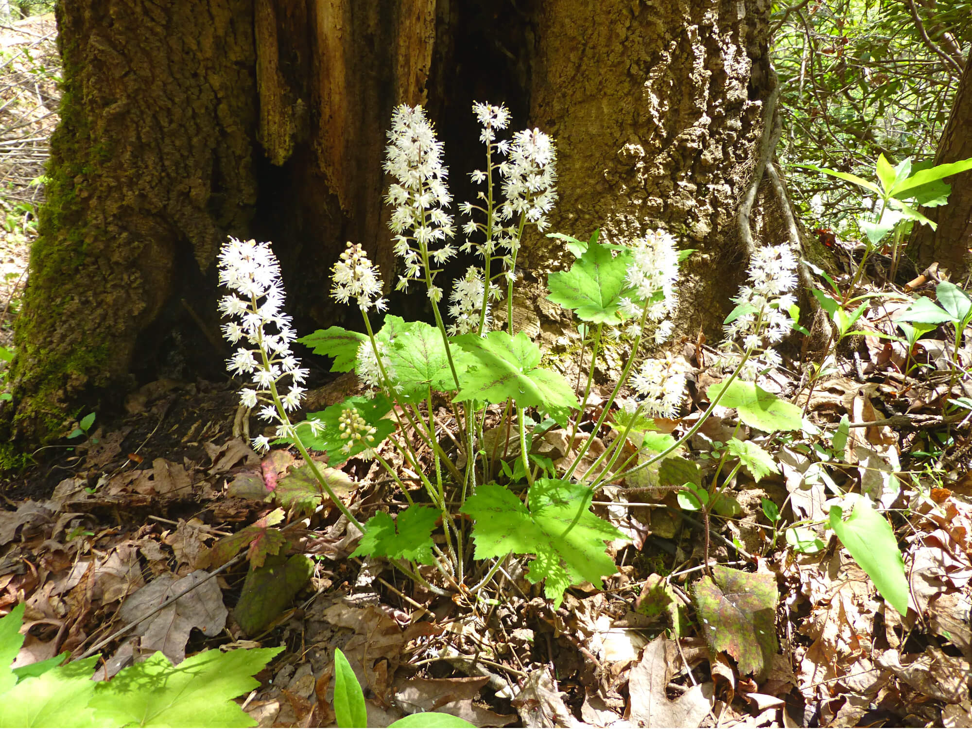 Small plant at the base of a mossy tree with flower stalks that have white flower clusters