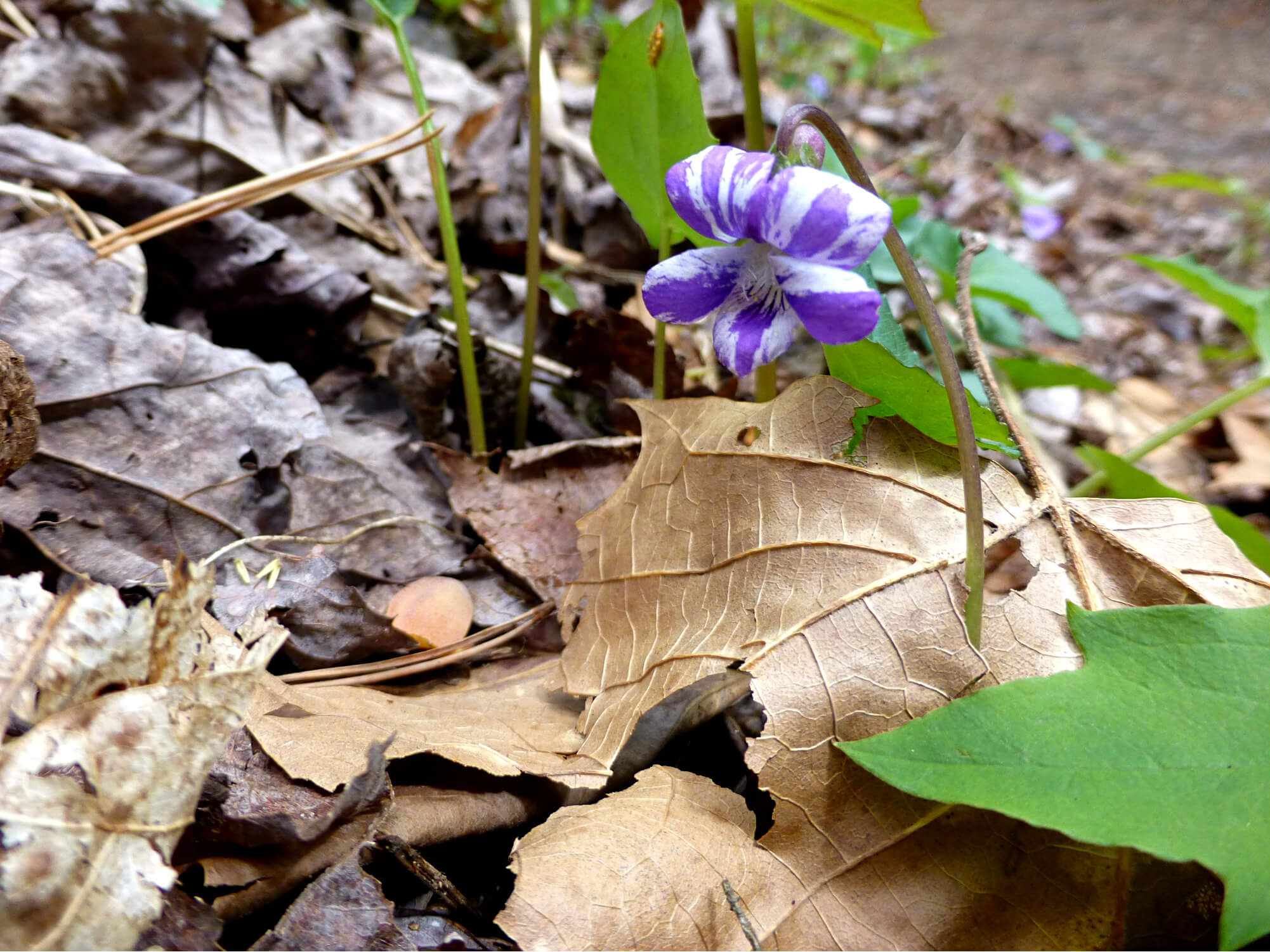 Close-up of a multi-colored flower blooming as it grows up through dried leaves