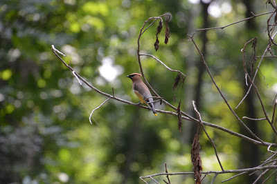 Small reddish brown bird sitting on the thin branch of a tree in the woods