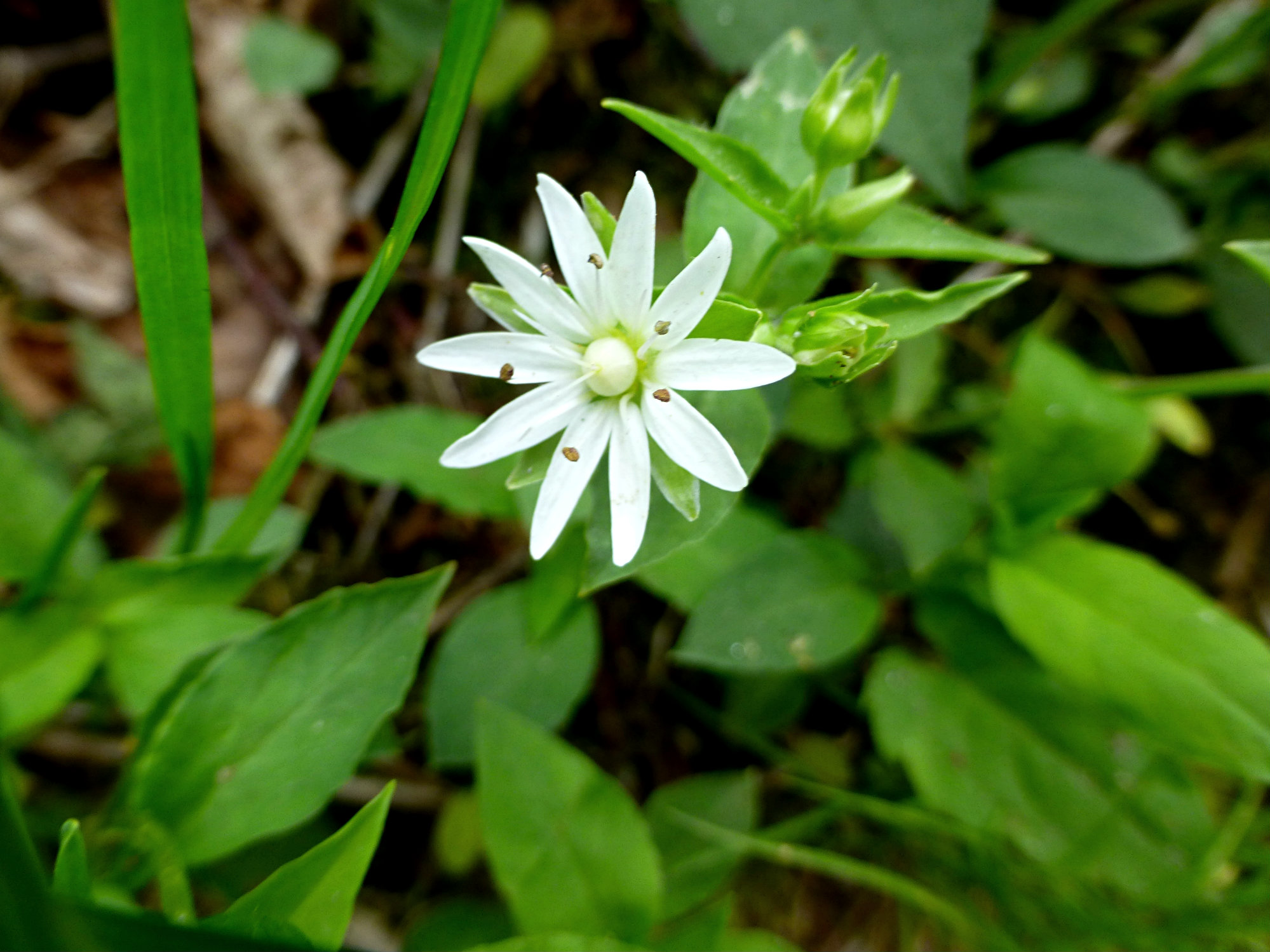 Chickweed Craggy Gardens 050916