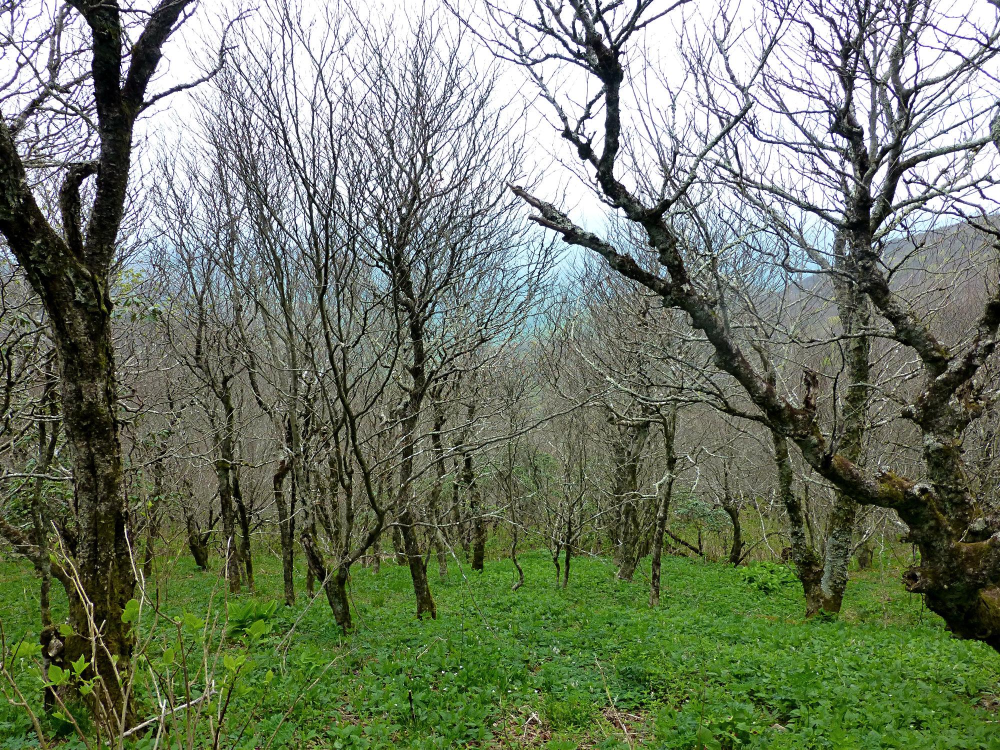 Craggy Gardens Trees 050916