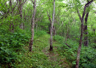 A forest hiking trail with young trees and shrubs around it