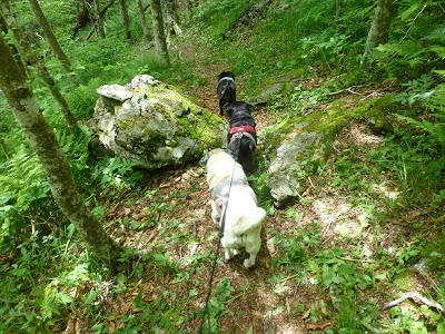 Three small dogs walking down a forest hiking trail next to a boulder