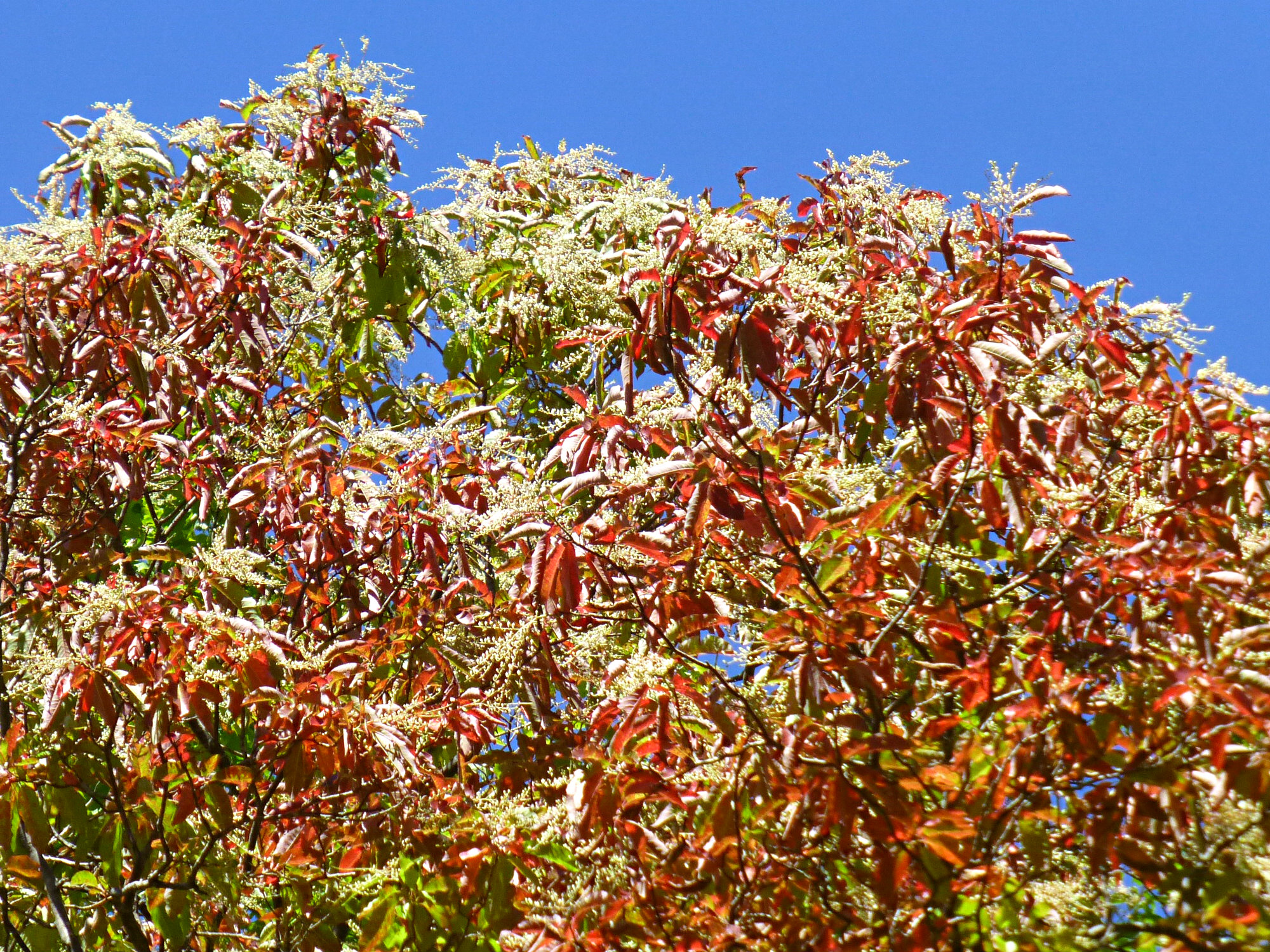 Close up of tree with bright colorful leaves and fringes of flower fronds at the tips