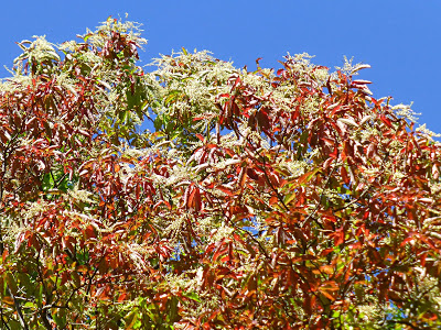 Top of a tree with red leaves and green leaves and white fringe flower seedpods