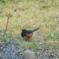 Eastern Towhee Male - stocky bird with black upper parts, orange sides and white belly