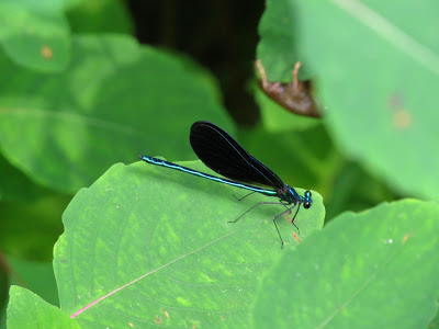 Thin blue dragonfly with black wings sitting on a leaf