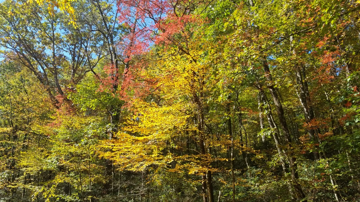 A forest scene with tall leafy trees and contrasting fall colors
