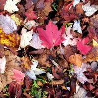 Hundreds of leaves covering the ground in late fall with some red maple leaves standing out