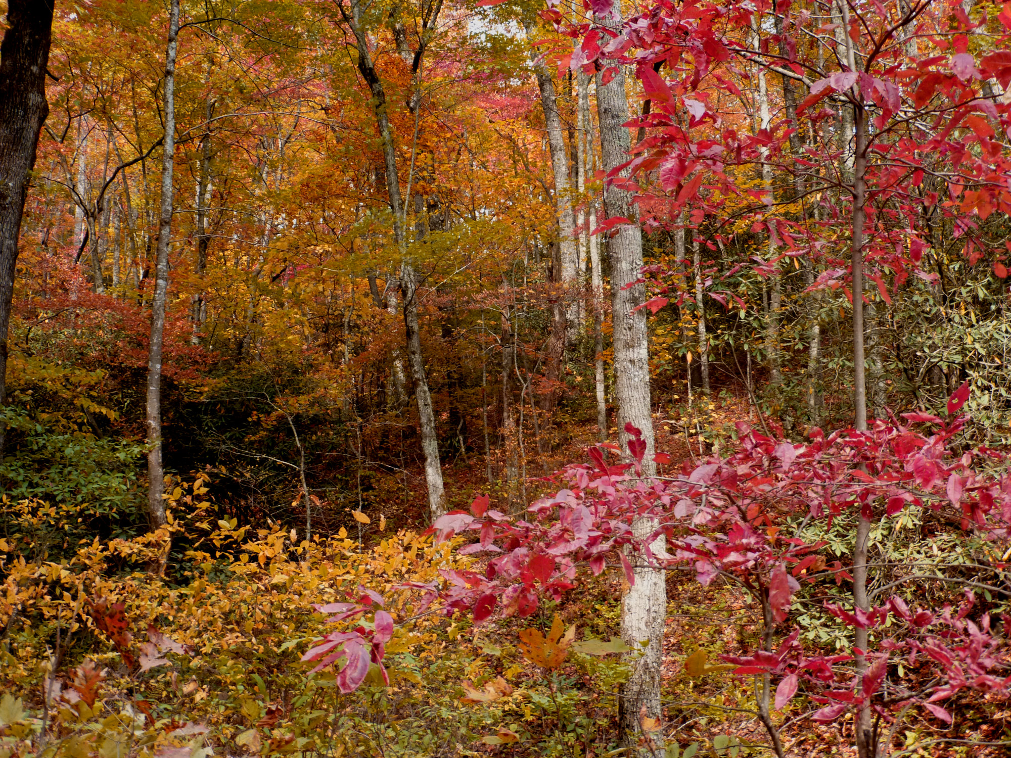 View of wooded landscape with several trees showing bold fall color