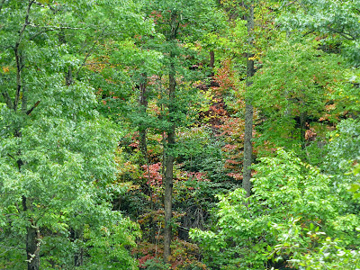 Fall color peaking through a lush green forest