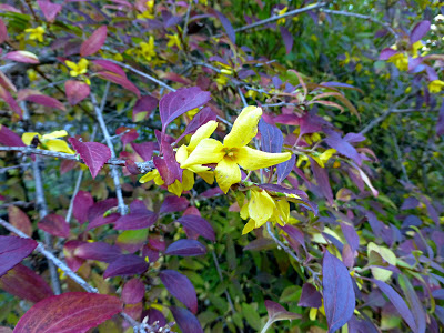 Shrub with bright yellow blooms and scarlet red leaves