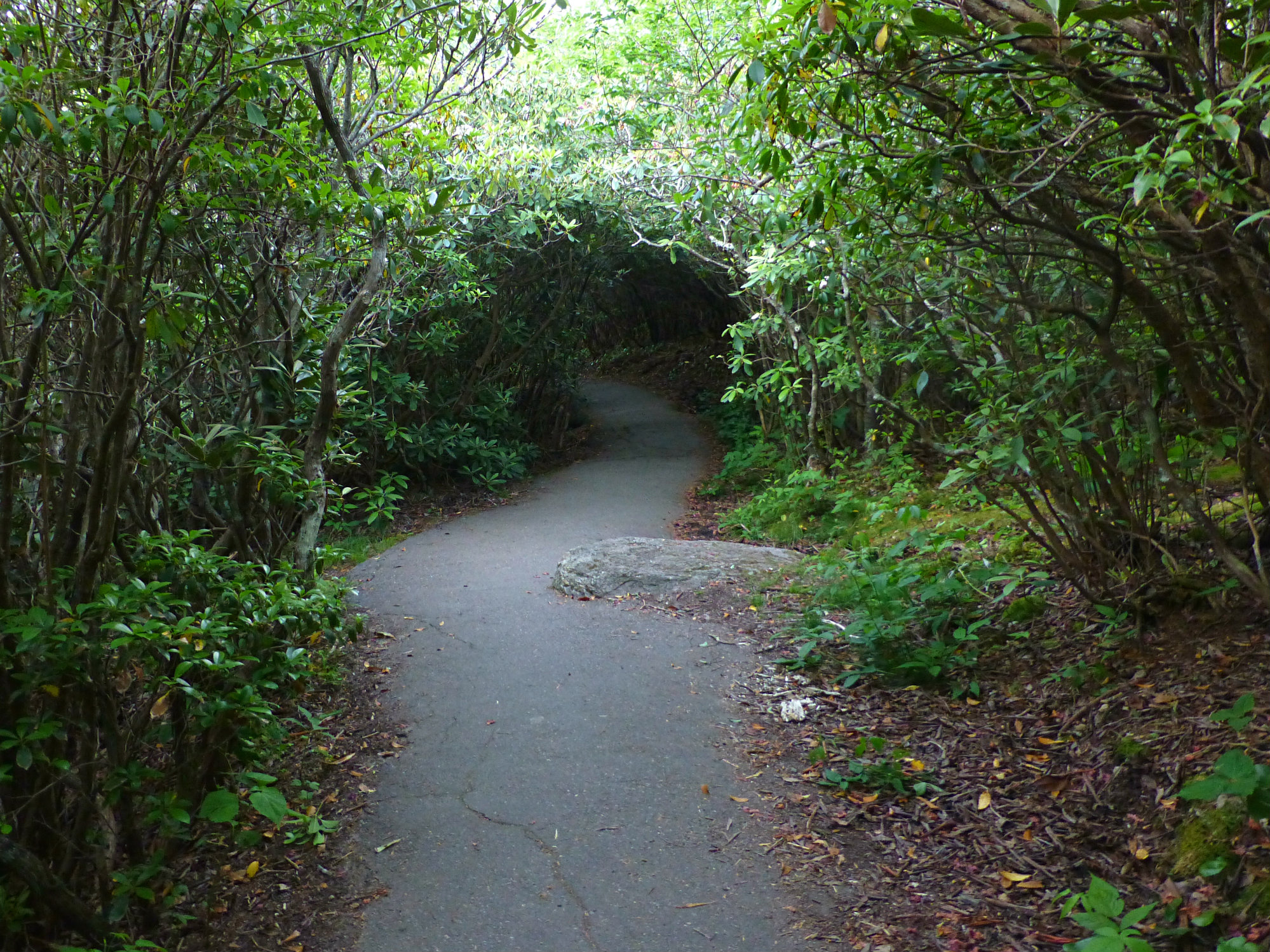 Graveyard Fields Rhododendron Tunnel June 2016