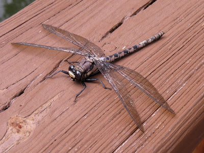 Dragonfly with spotted tail and large eyes sitting on a wooden fence railing