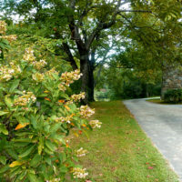 hydrangea-driveway-early-fall-2016