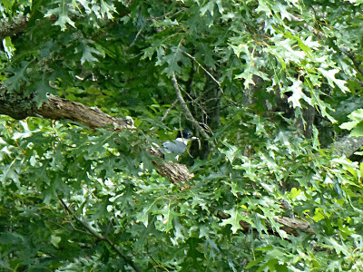 Small gray bird perched in a leafy oak tree with a tiny fish in its mouth
