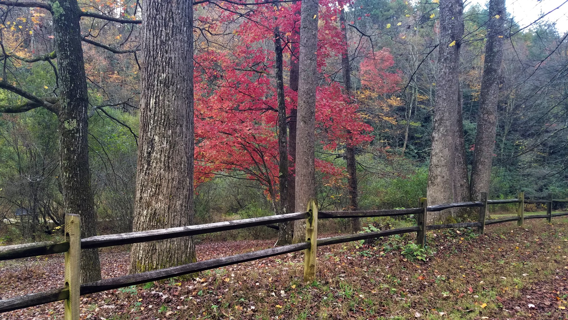 Maple tree with bold color standing out among other trees along a split rail fenced forest road