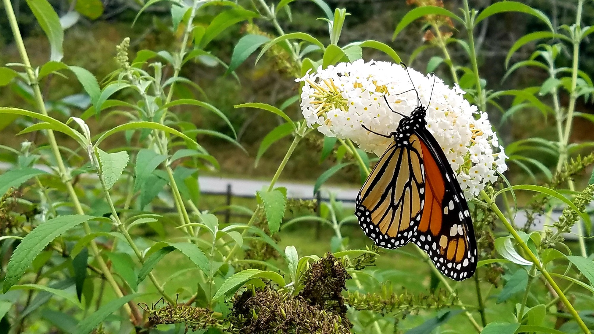 Closeup of a monarch butterfly on a white butterfly bush bloom