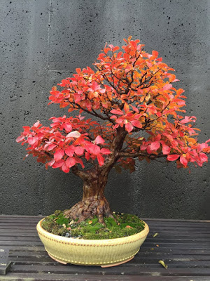 Bonsai tree with reddish leaves in yellow ceramic dish