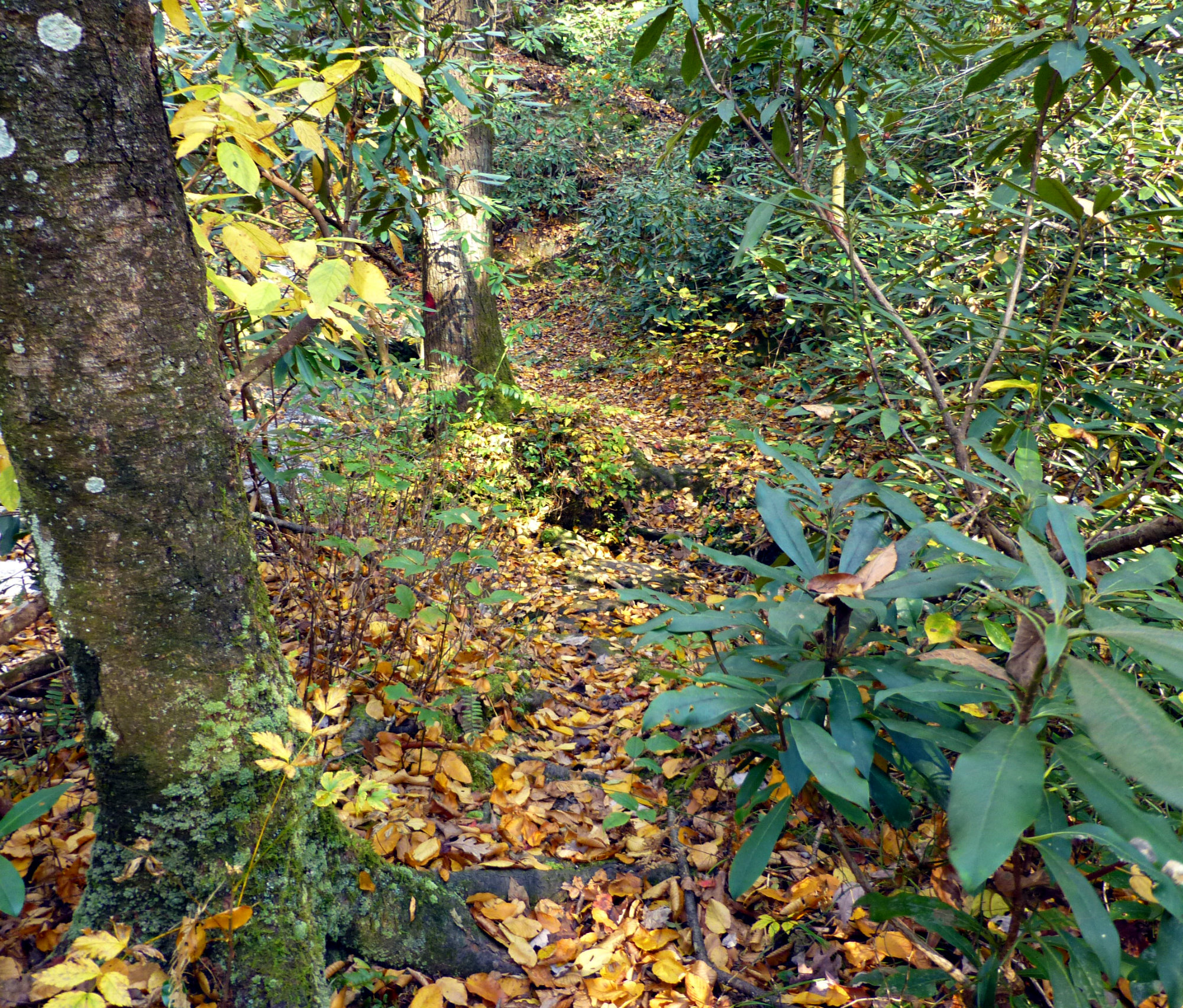 Leaf covered trail through the woods with a tree trunk on the left of the photo and large shrubs