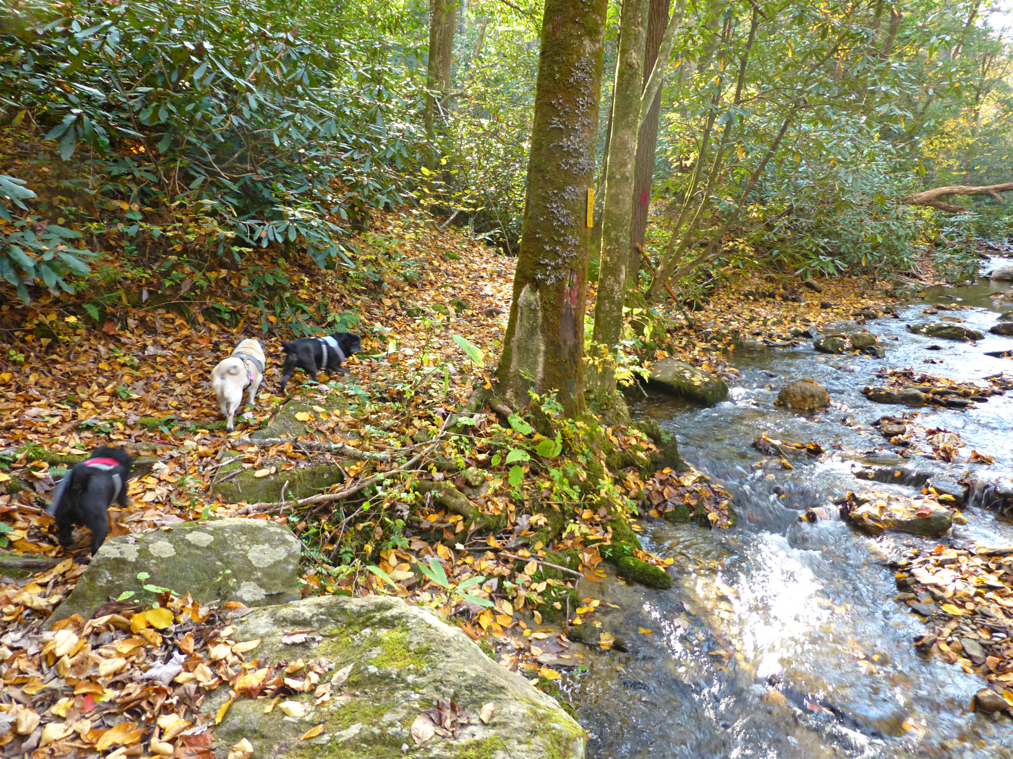 Three small dogs walking on a leaf-covered trail next to a forest stream