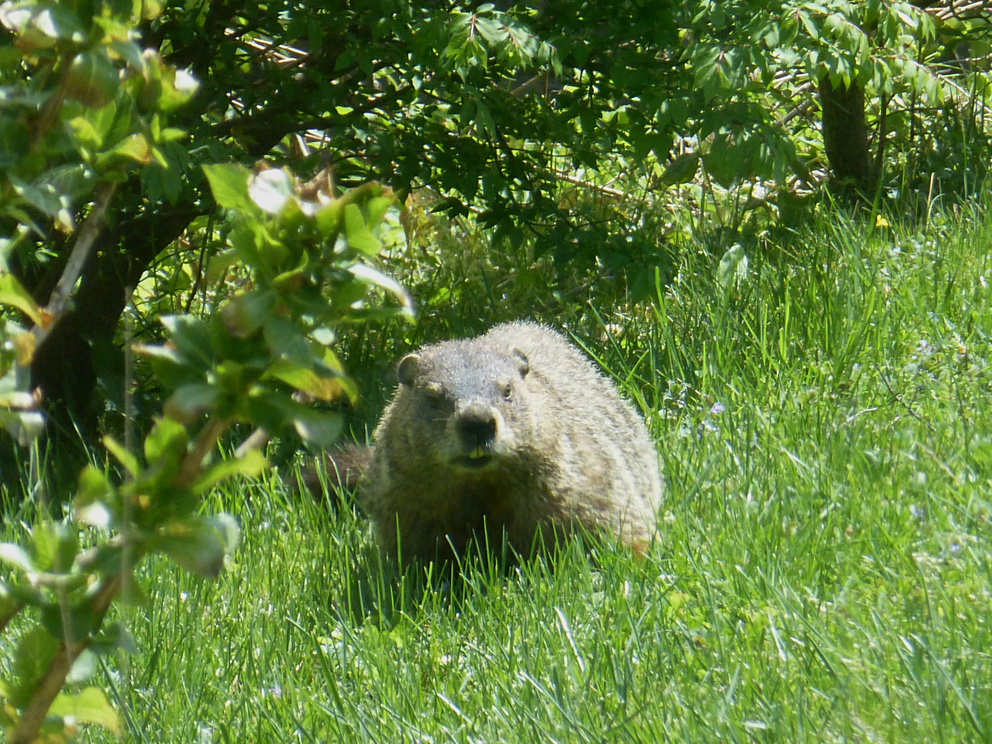 Groundhog in the grass staring at the photographer